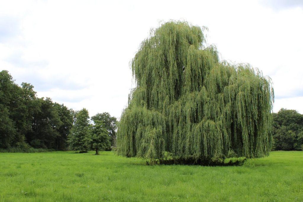 Niederrhein Baum